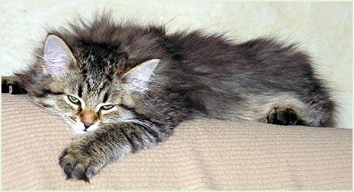 Sibirische Katze Allergie Eine Sibirische Katze Das