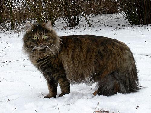 Sibirische Waldkatzen Und Neva Masquarade Aus Berlinbrandenburg