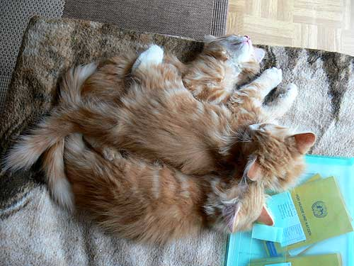 sibirische waldkatzen und neva masquarade aus berlin brandenburg news siberian cats and neva. Black Bedroom Furniture Sets. Home Design Ideas